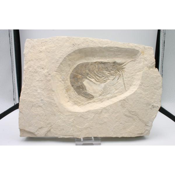 Crevette fossile